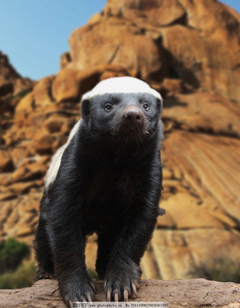 蜜獾 生物 珍惜 动物 摄影广告 壁纸 壁画 宣传 其他