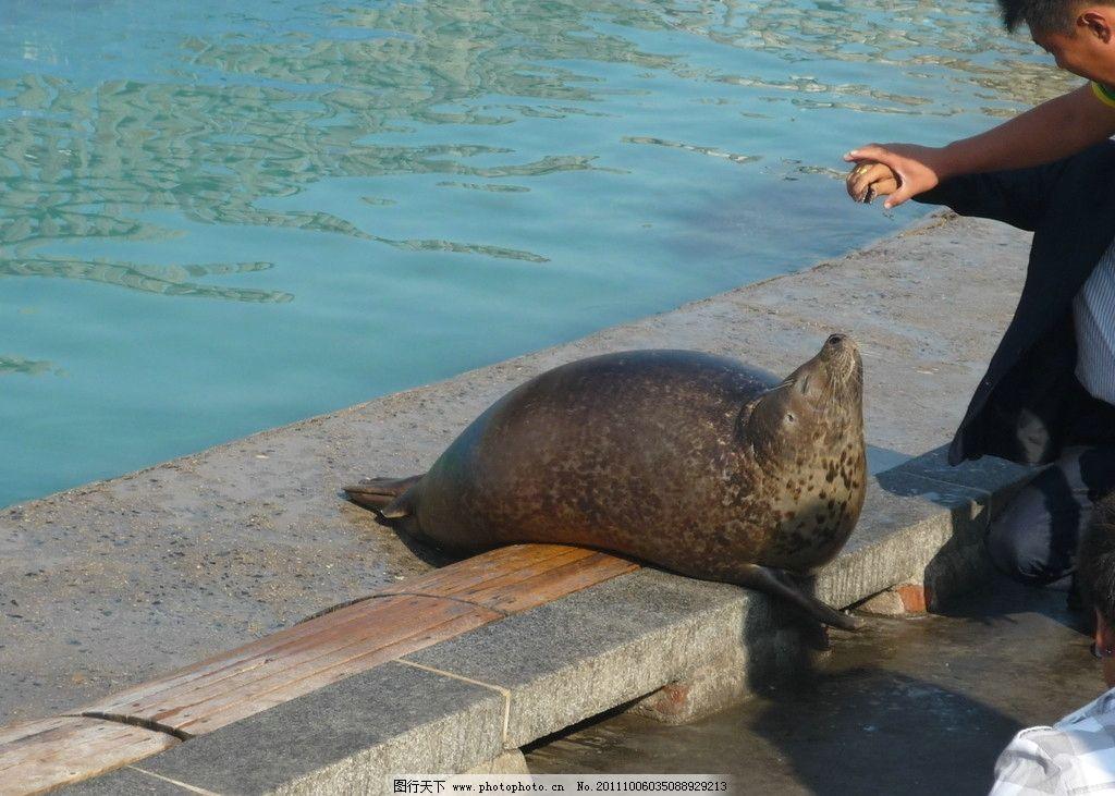 海豹 动物 海洋生物 海洋动物 摄影