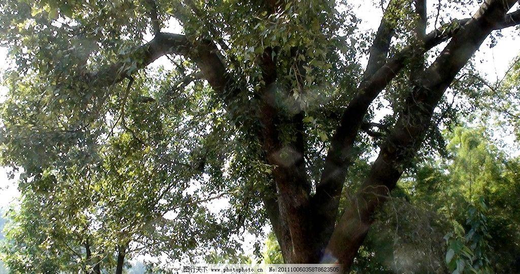 枫树 香枫树 古枫树 鄂东林特 树木树叶 生物世界 摄影 72dpi jpg