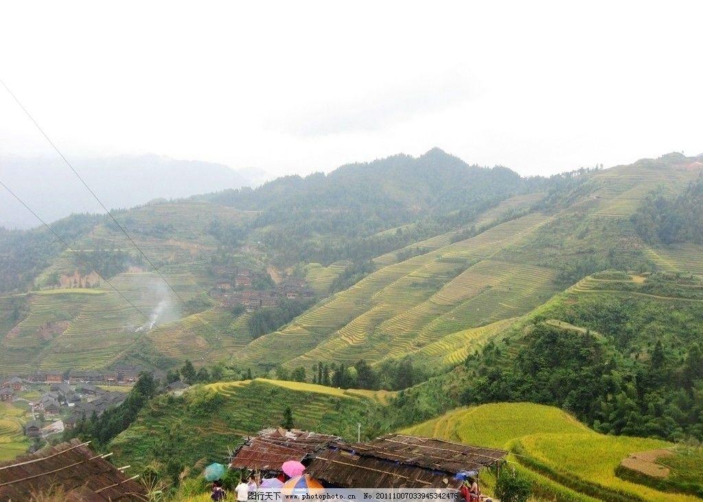 桂林梯田 稻谷 谷子 金黄色 成熟 粮食 丰收 大瑶寨梯田景观 桂林