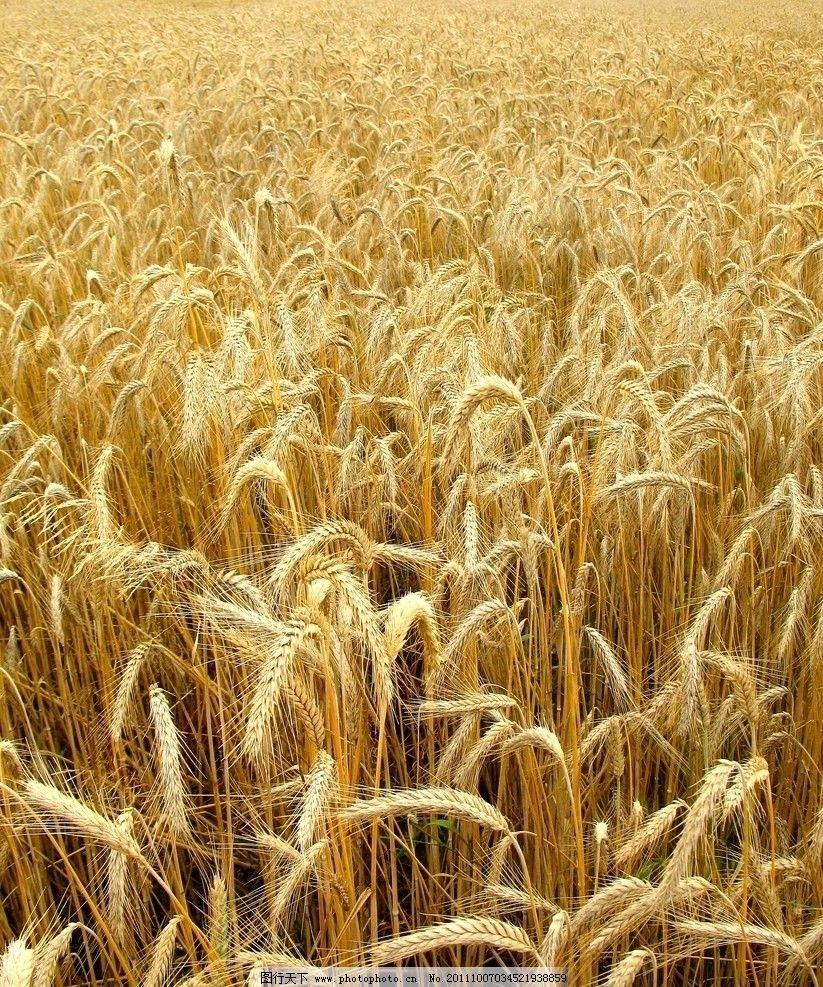 麦田 小麦 金黄色 麦穗 阳光 丰收 秋天 摄影