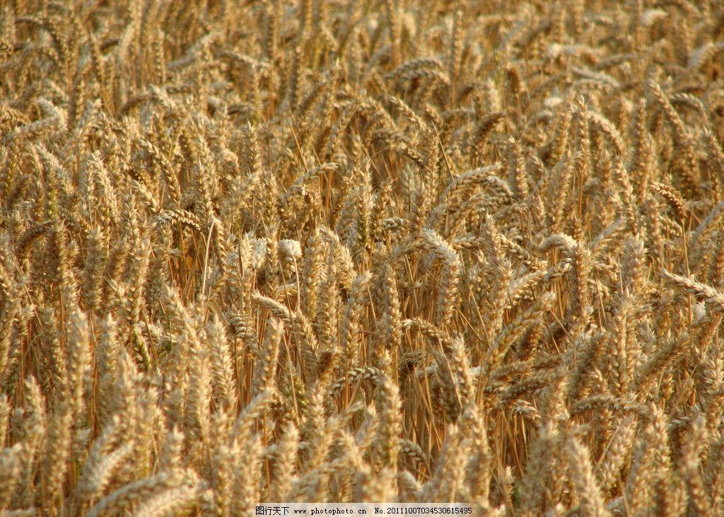 麦田 小麦 金黄色 麦穗 丰收 秋天 田园风光 自然景观 摄影 180dpi