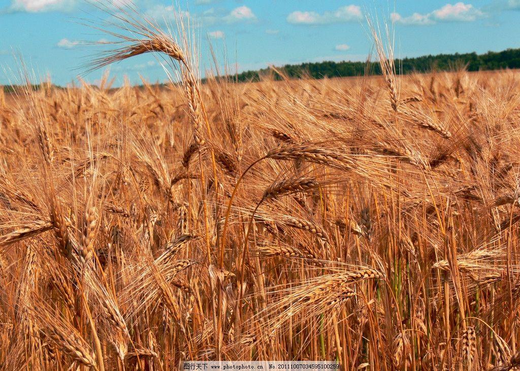 麦田 小麦 金黄色 麦穗 丰收 秋天 田园风光 自然景观 摄影 72dpi jpg