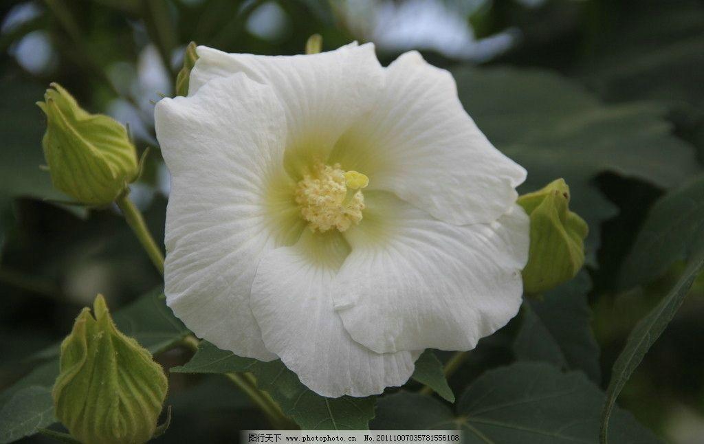 白色的木芙蓉图片