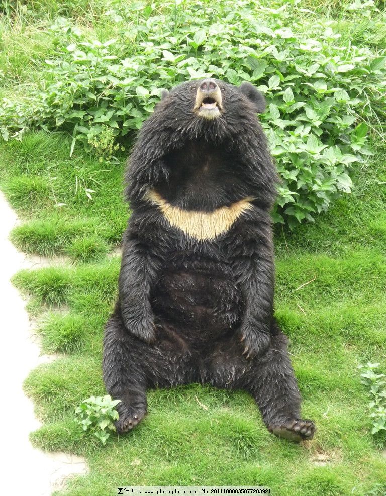 仰天长啸 绿地 黑熊 绿草 野生动物 生物世界 摄影