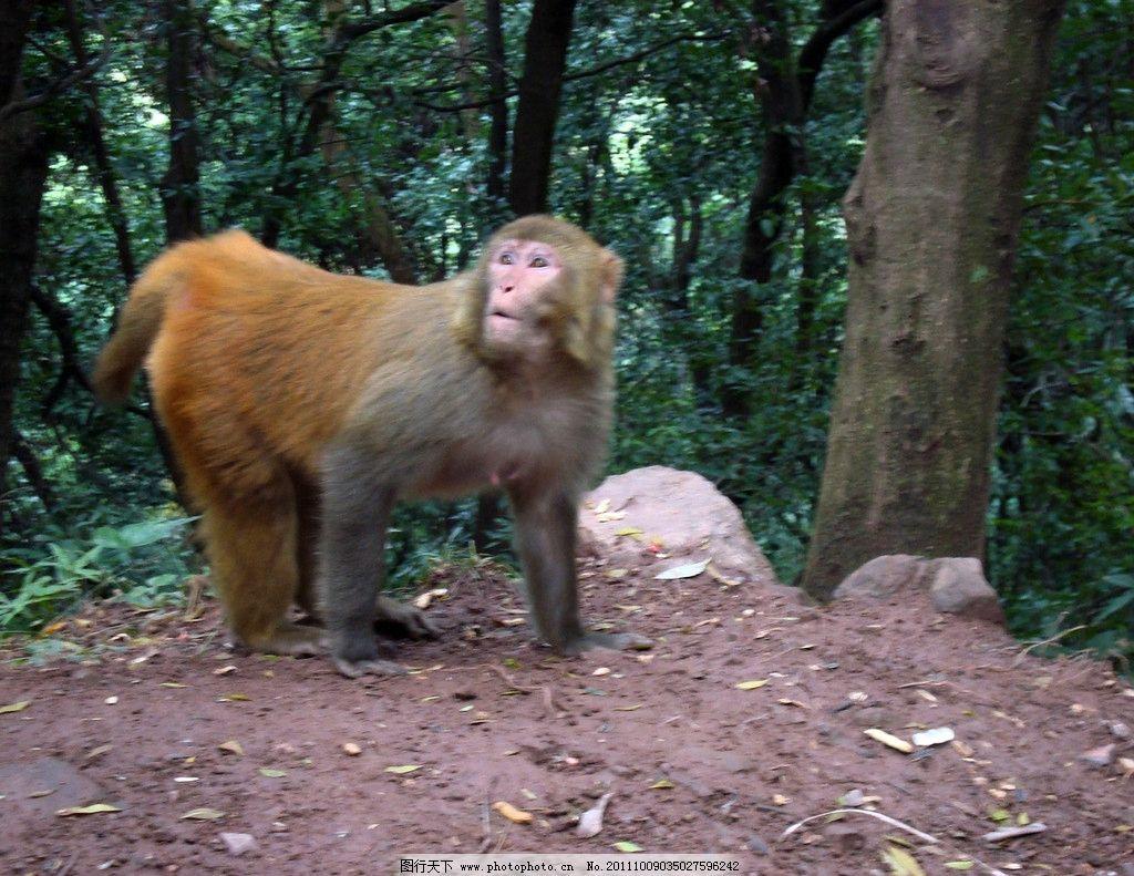 猴子 自然 风景 猴 动物 野生动物 生物世界 摄影 72dpi jpg