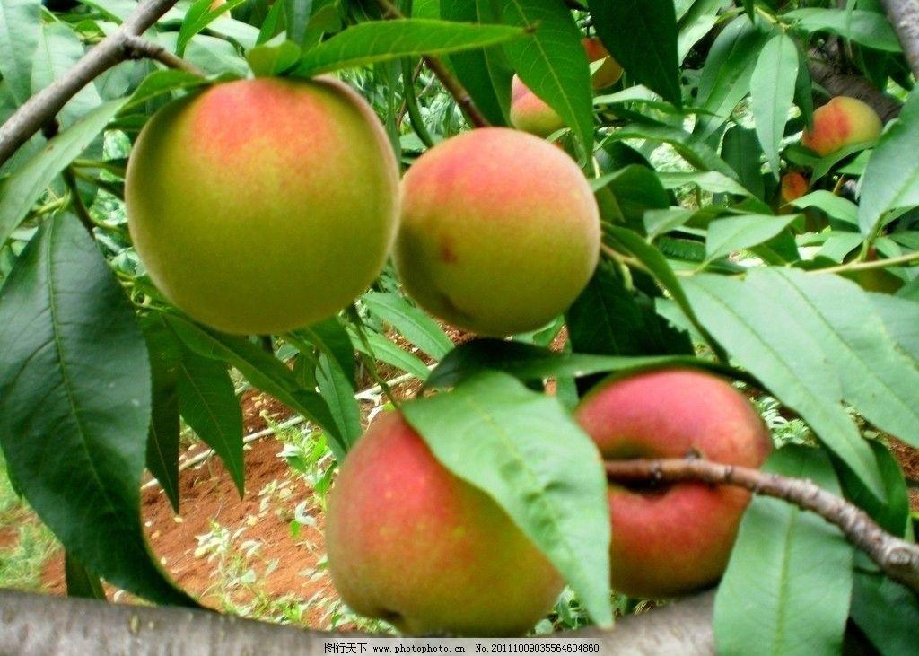 果园桃子 桃园 果园 桃子 水果 植物 果树 果实 硕果 树木 丰收 生物