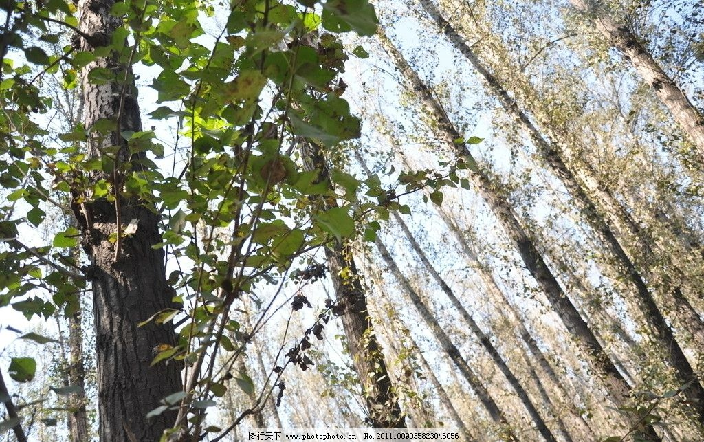 阳光下的树林 仰拍树林 树叶 树干 树枝头的天空 树木树叶 生物世界