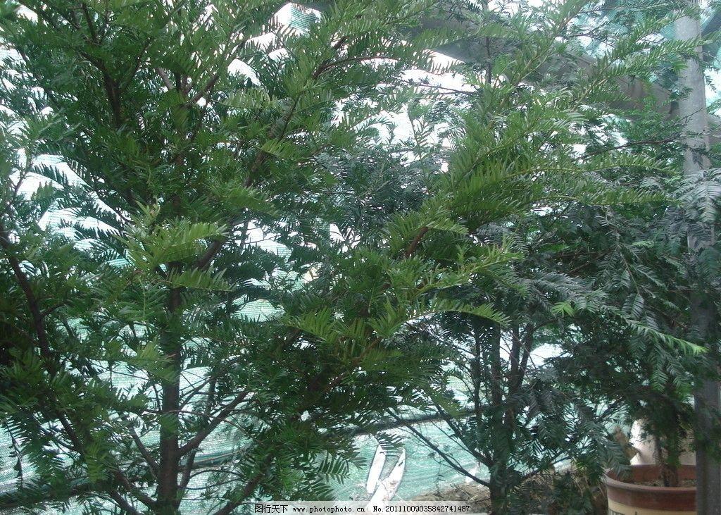 红豆杉 绿化工程使用 杉树 树木树叶 生物世界 摄影 72dpi jpg