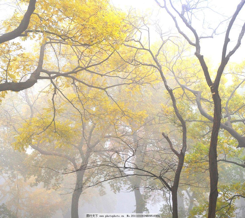 秋天的树林 浓雾 枯树 黄叶 浓秋 自然风景 自然景观 摄影 300dpi jpg