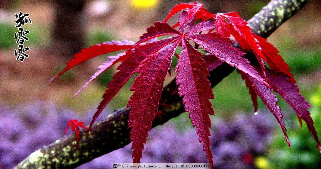 冬天的枫叶 枯枝 红枫叶 深秋 树木树叶 生物世界 摄影 500dpi jpg图片