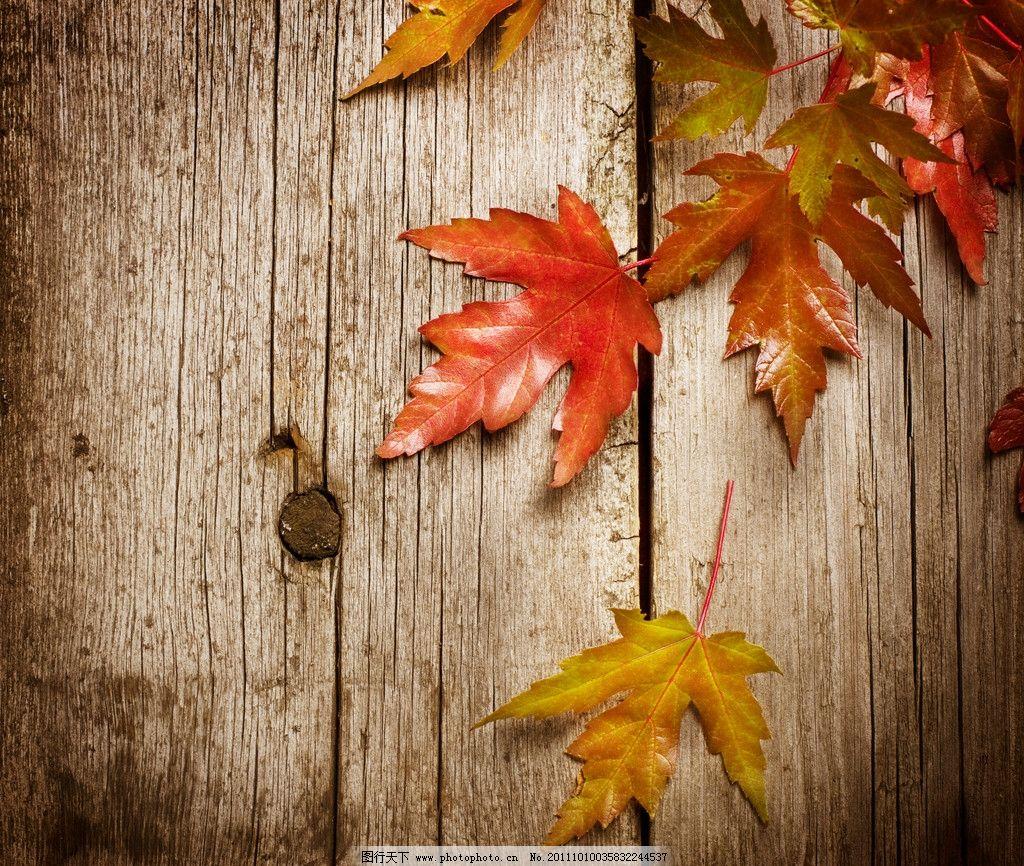 木板 木纹 枫叶 金黄色枫叶 树叶和木板 树叶 落叶 红枫叶 旧木板