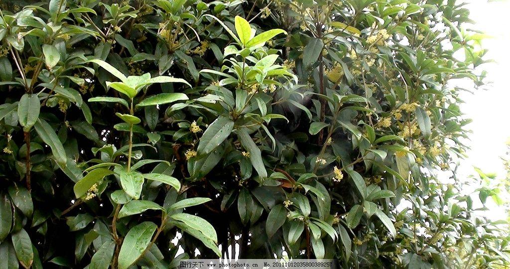 桂花 桂花树 八月黄桂花 树木树叶 生物世界 摄影 72dpi jpg