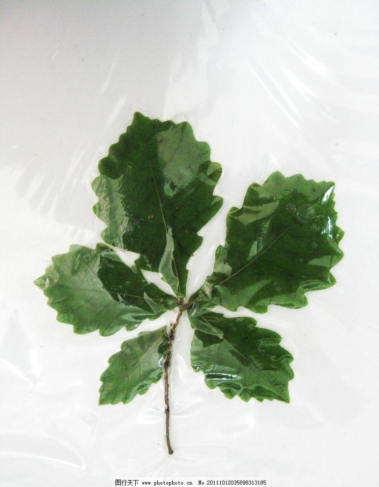 植物标本 树叶 摄影