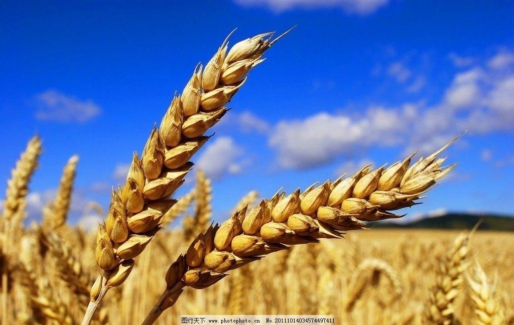秋季丰收 金黄 小麦 蓝天 田园风光 自然景观 摄影 300dpi jpg