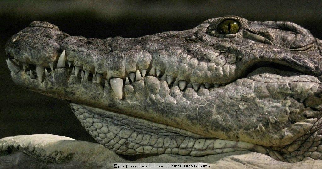 鳄鱼 动物 生物 大自然