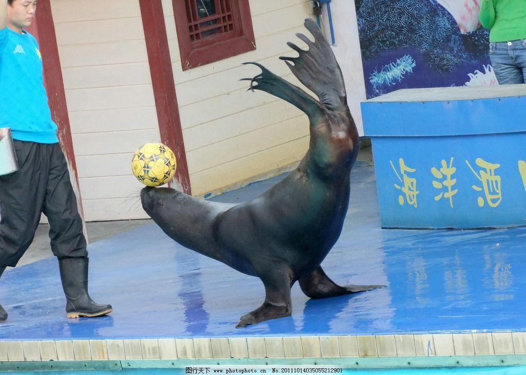 海狮顶球 海狮 动物 中山公园动物园 野生动物 生物世界 摄影 72dpi