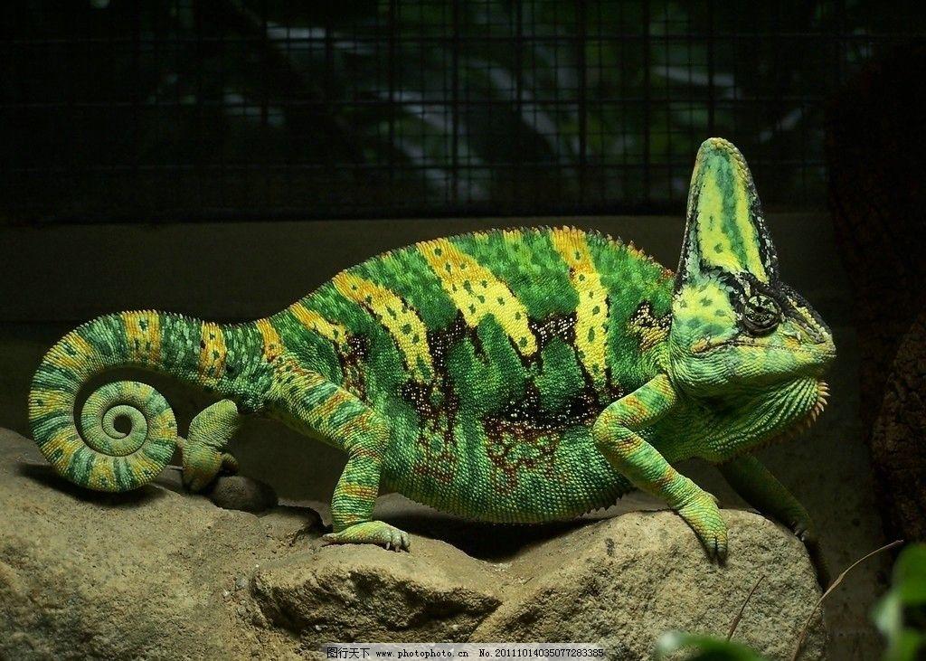 变色龙 动物 生物 大自然 野生动物 生命 爬行动物 冷血动物 环境