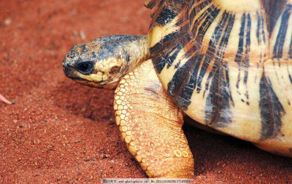 千年海龟图片,乌龟 海洋 生物 珍惜物种 保护动物-图