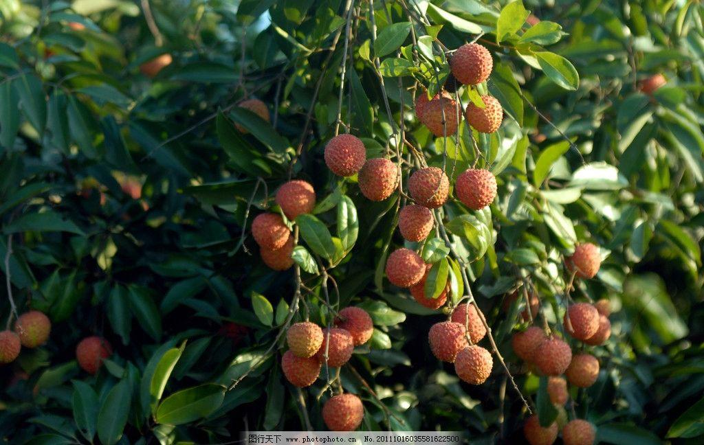 树上的荔枝 荔枝 水果