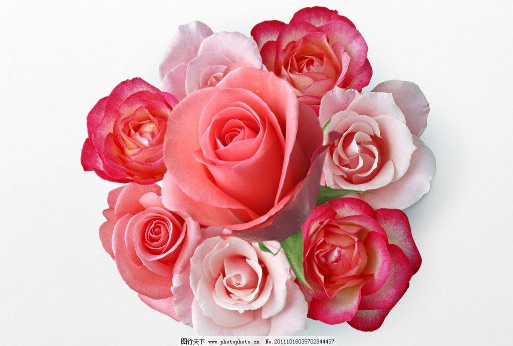 唯美花朵 玫瑰花 唯美的鲜花 摄影