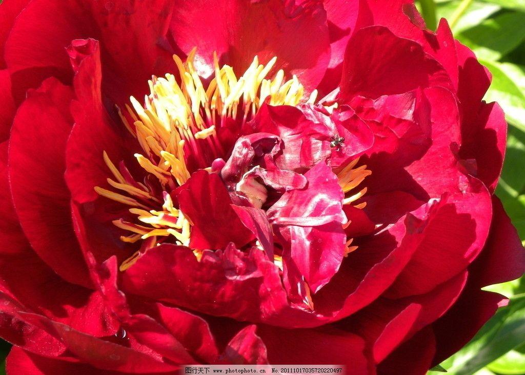 牡丹花 国花 牡丹 红牡丹 花儿 花蕾 花蕊 花叶 叶子 花草 生物世界