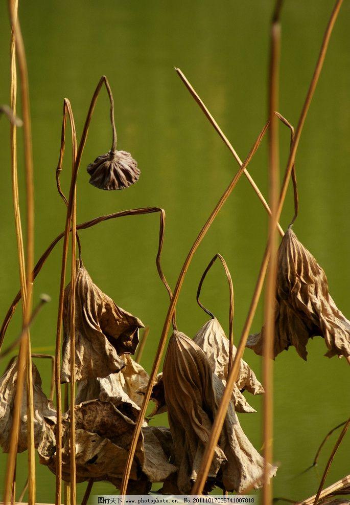 残荷 荷叶 枯荷 枯萎 池塘 秋天 倒影 花草 生物世界 摄影 72dpi jpg
