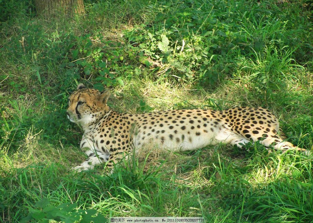 猎豹 绿草 黑色 黄色 树 上海野生动物园 野生动物 生物世界 摄影 72