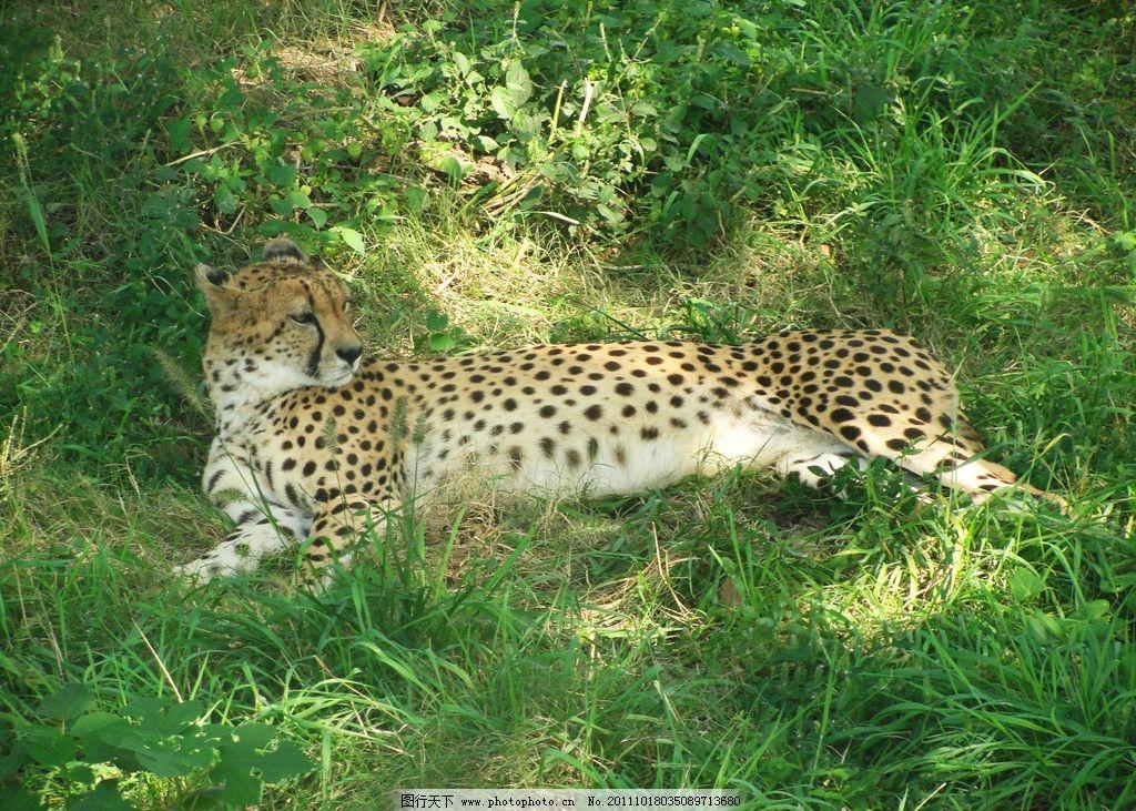 猎豹 绿草 黑色 黄色 上海野生动物园 野生动物 生物世界 摄影 72dpi