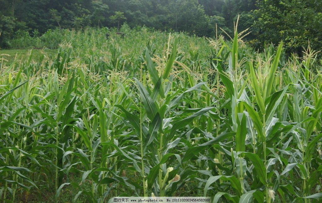 葱郁玉米 玉米 丰收 喜悦 秋天 新农村 农村 土地 田园风光 自然景观