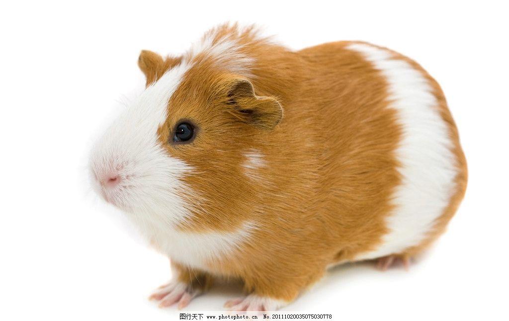 萌 饲养 老鼠 荷兰鼠 黄白 皮毛 动物 爪子 天然呆 72dpi 野生动物