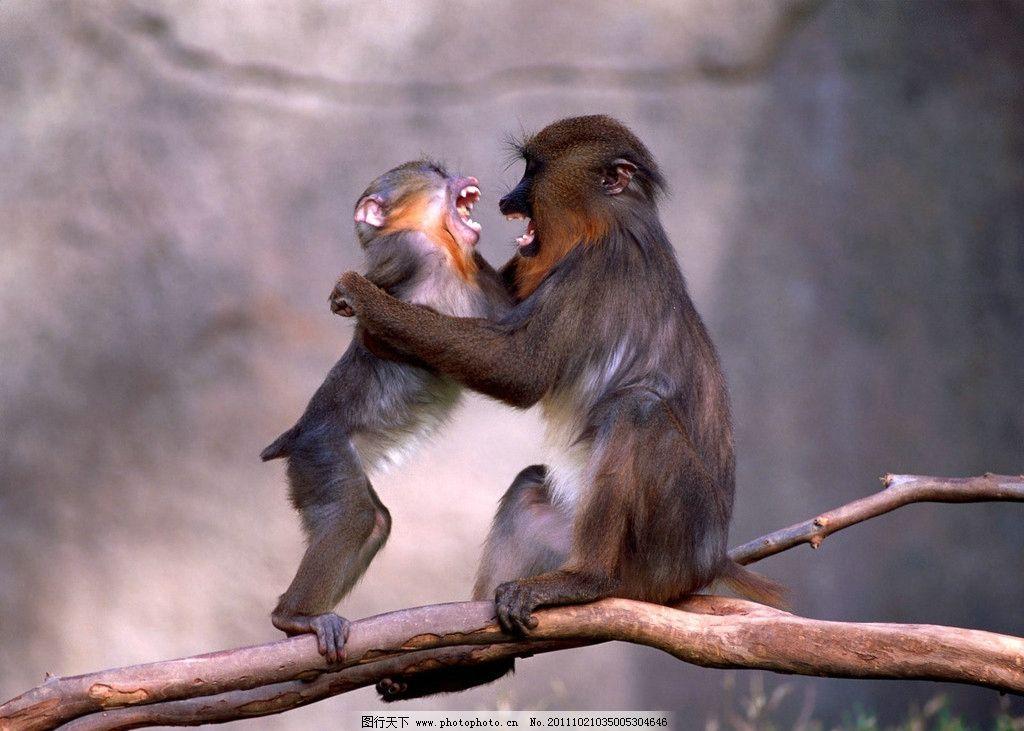 狒狒 猴子 猩猩 长毛猴 动物 野生动物 非洲野生动物 生物世界 摄影