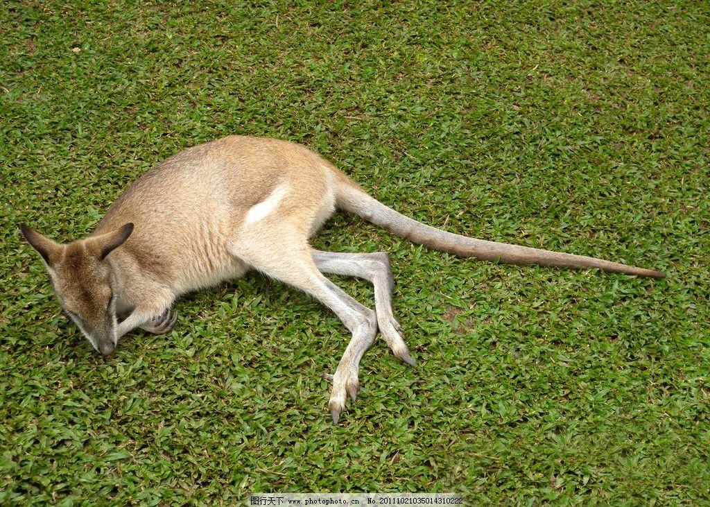 袋鼠 动物 睡姿 草地 澳洲 澳大利亚 野生动物 生物世界 摄影 300dpi