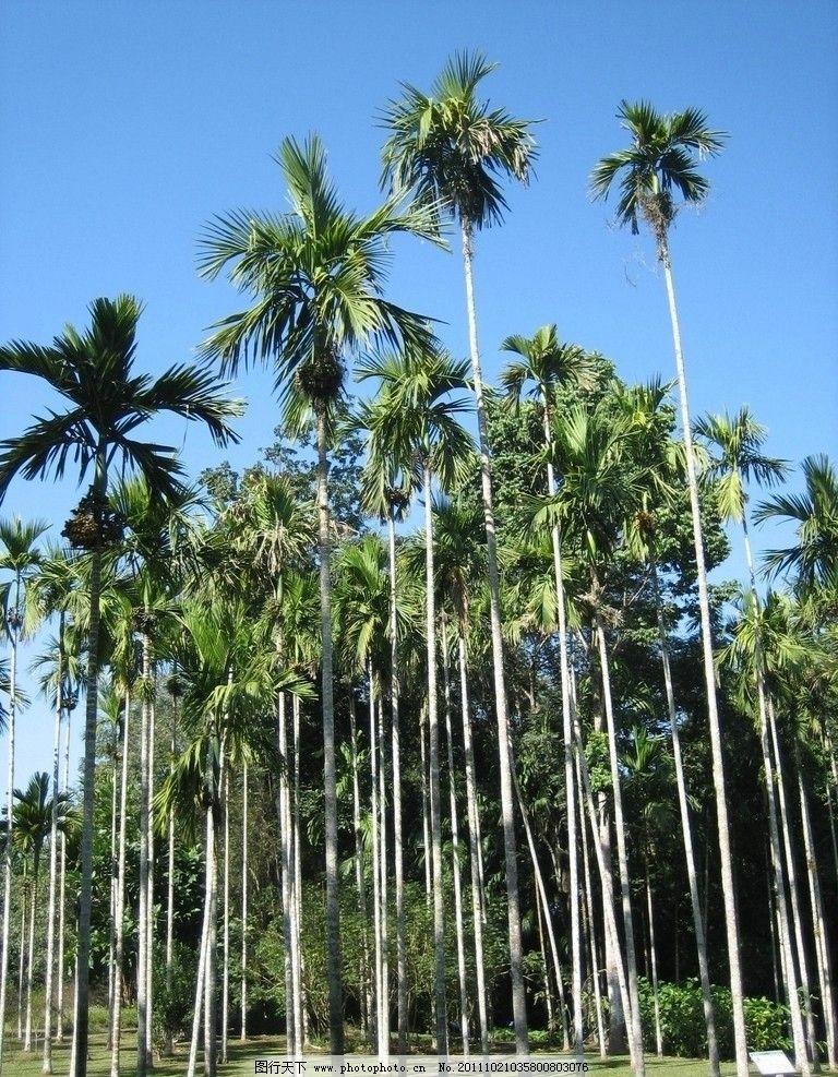 椰树叶子矢量图