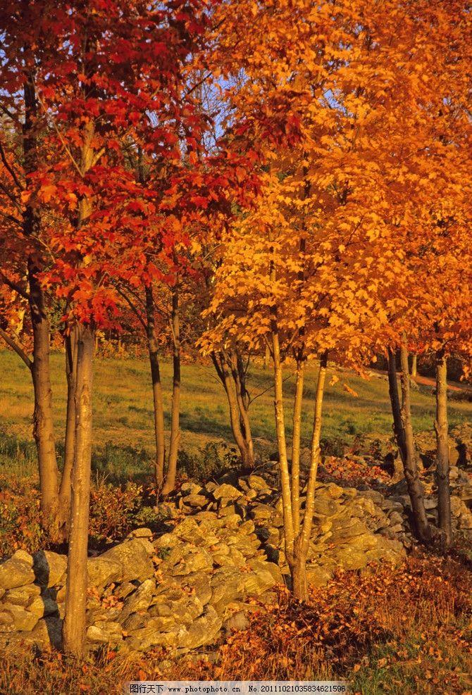 秋韵 深秋 红叶 秋天 秋季 金黄色树叶 树叶 树木 植物 树林 树木树叶