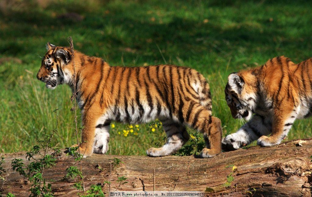 老虎 猛虎 威风凛凛 可爱老虎 小老虎 老虎仔 野生动物 生物世界 摄影