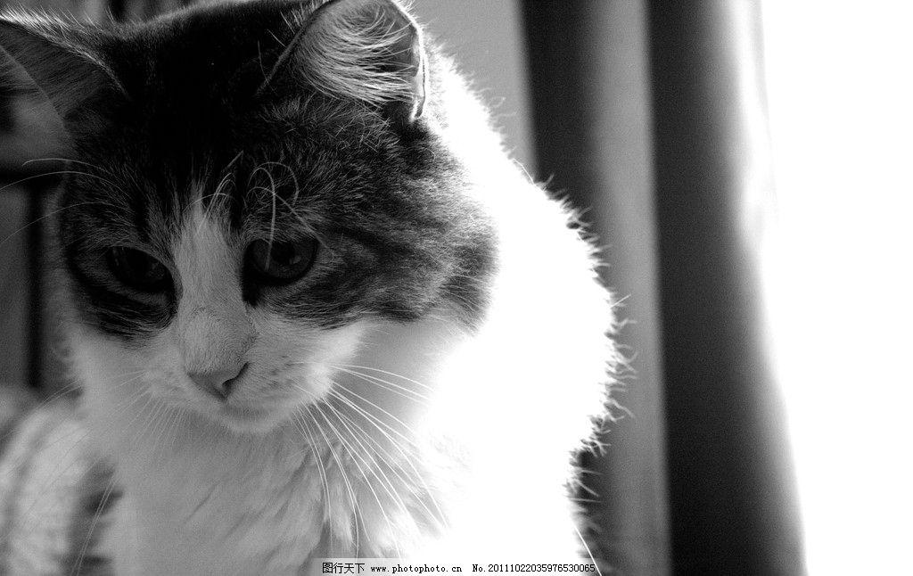 一只猫 小猫 动物 可爱的猫 可爱 黑白 特写 动物百科 家禽家畜 生物