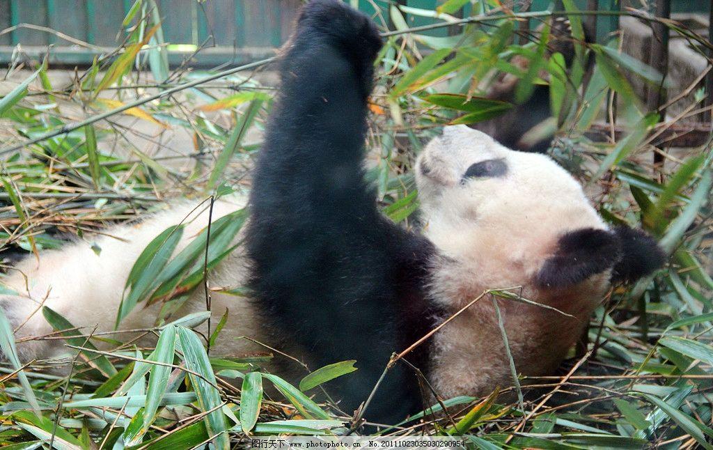 熊猫 动物摄影 动物园 成都动物园 竹子 野生动物 珍稀动物 动物 国宝