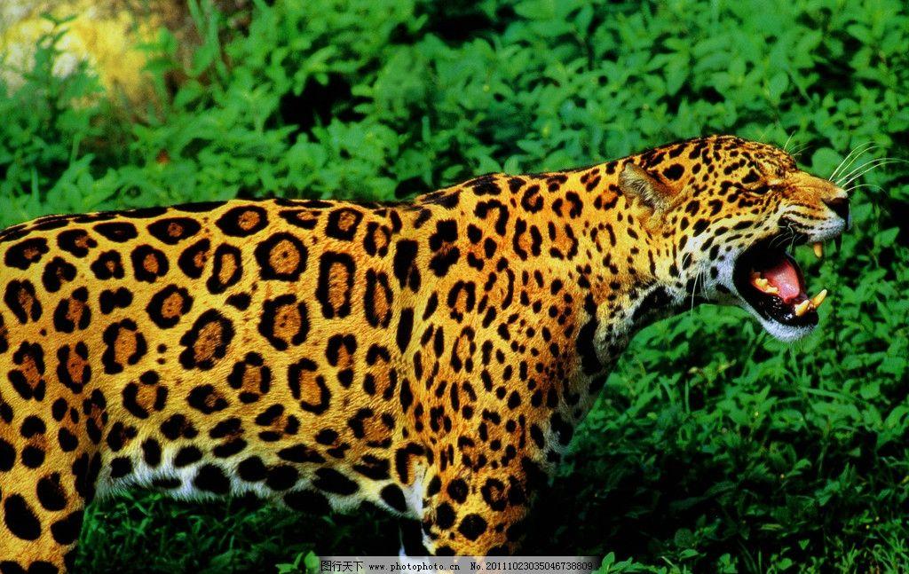 老虎 野生动物 豹子 高清晰 生物世界 摄影 600dpi jpg
