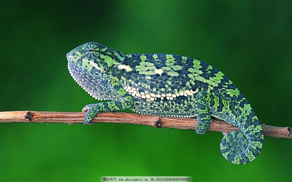 变色龙 蜥蜴 爬行动物 热带雨林 动物星球 野生动物 生物世界 摄影