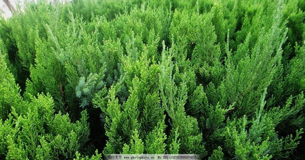 丛柏 矮柏丛 柏叶 树木树叶 生物世界 摄影 72dpi jpg