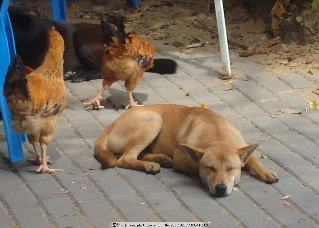 狗在鸡的旁边睡觉 小狗 睡觉 母鸡 阉鸡 黄狗 生物 动物 生活 野生
