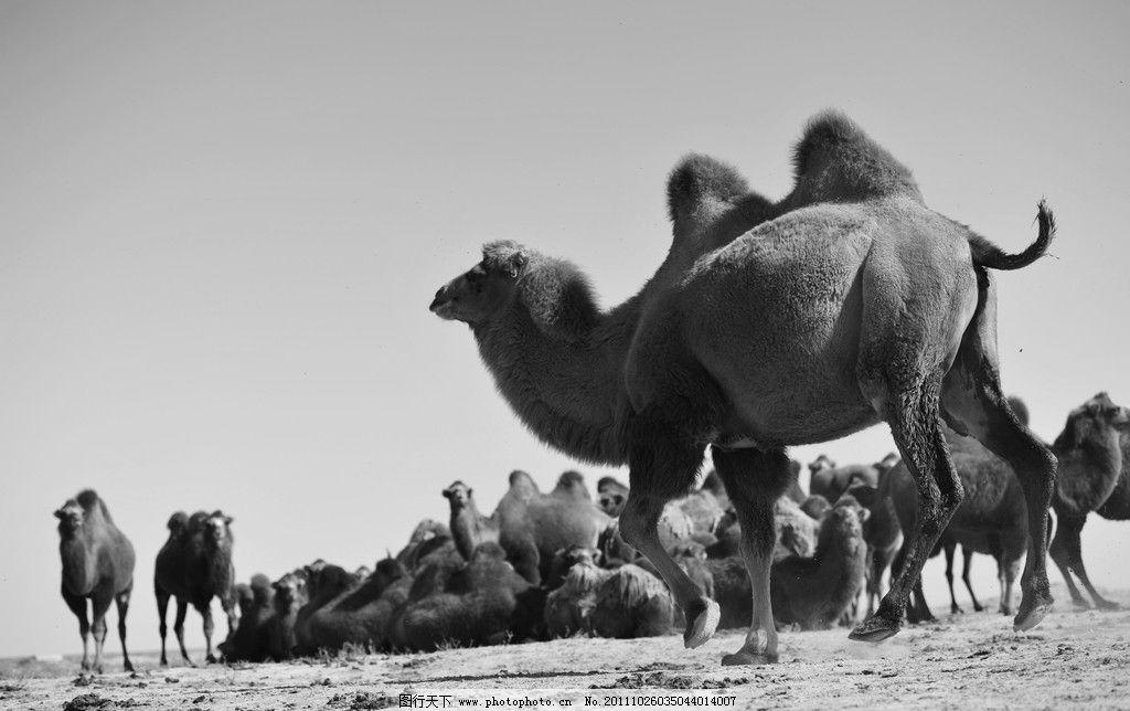 骆驼 动物 驼群 新疆 野生动物 生物世界 摄影 300dpi jpg