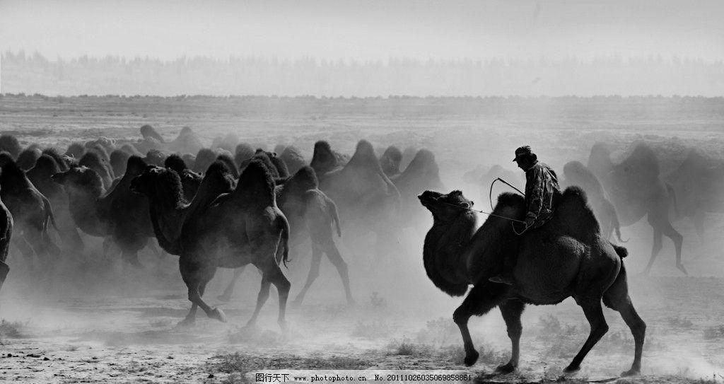 骆驼 动物 驼群 赶骆驼 新疆 野生动物 生物世界 摄影
