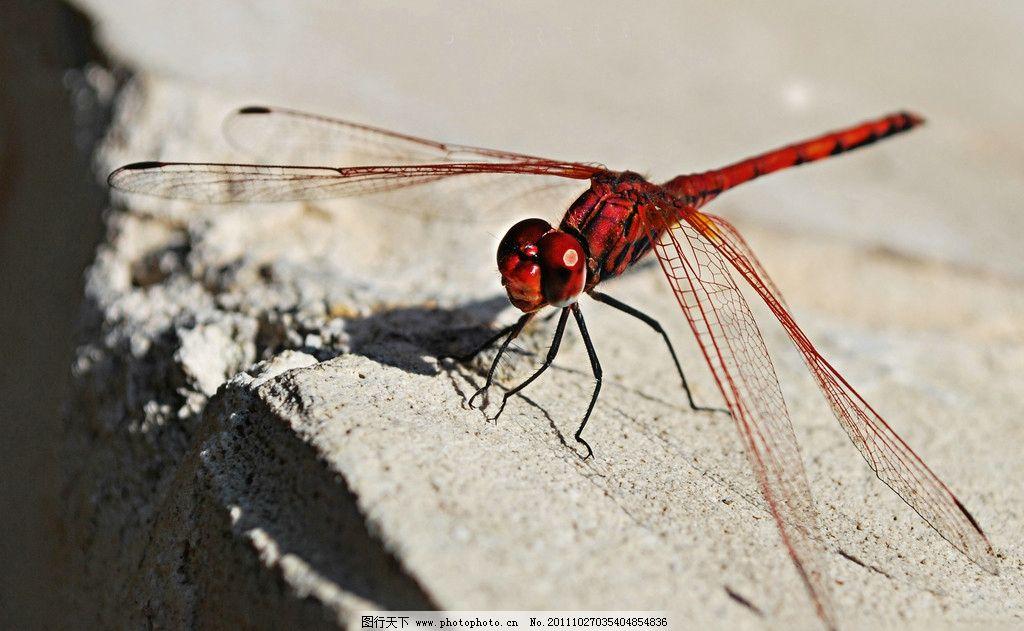 蜻蜓 动物图片 昆虫摄影 昆虫图片 蜻蜓素材 蜻蜓图片 蜻蜓图集 昆虫