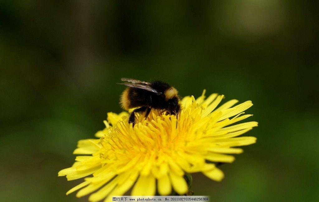 蜜蜂 动物图片 昆虫摄影 昆虫图片 蜂 蜜蜂素材 蜜蜂图片 昆虫 生物