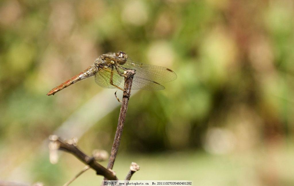 蜻蜓 动物图片 昆虫摄影 昆虫图片 蜻蜓素材 蜻蜓图集 生物世界