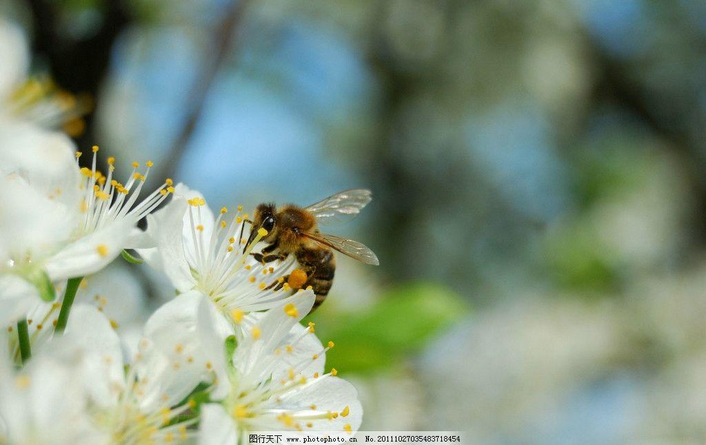 蜜蜂 动物图片 昆虫摄影 昆虫图片 蜂 蜜蜂素材 蜜蜂图片 昆虫 生物世