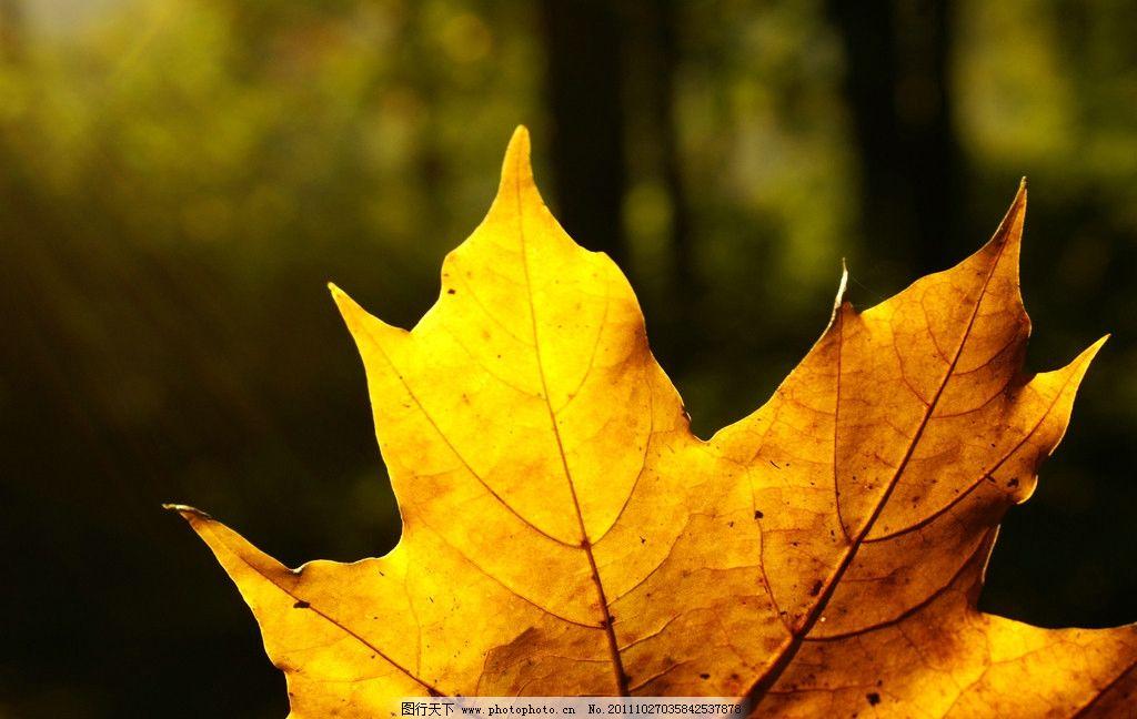 枫叶 落叶 树叶 金黄的枫叶 树木树叶 生物世界 摄影 300dpi jpg