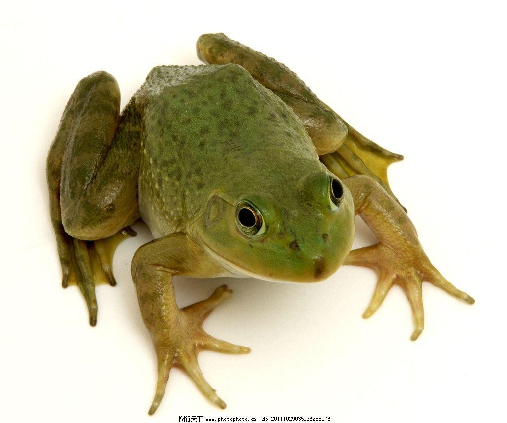 青蛙 绿青蛙 可爱青蛙 小青蛙 野生动物 生物世界 摄影 300dpi jpg